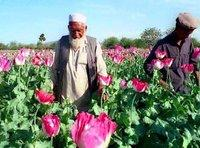 Poppy farmers in Afghanistan (photo: AP)