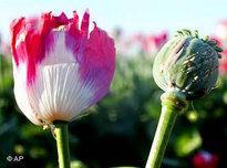 A field of opium poppies in Afghanistan (photo: AP)