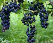 Wine grapes (photo: dpa)