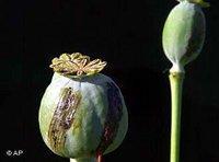 Opium poppy (Photo: AP)
