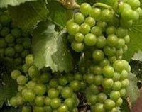 Grapes in Algeria (Photo: AP)