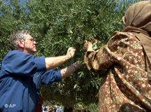 Amos Oz helping Palestinians with the olive harvest in Nablus, 2002 (photo: AP)