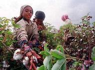 Young girls pick cotton in a field in the Nile Delta near Maseer, Egypt (photo: AP)