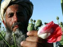 Poppy crop growing in Afghanistan (photo: AP)