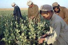 Afghan farmers during poppy crop (photo: AP)