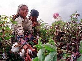 Young girls pick cotton in a field in the Nile Delta (photo: AP)
