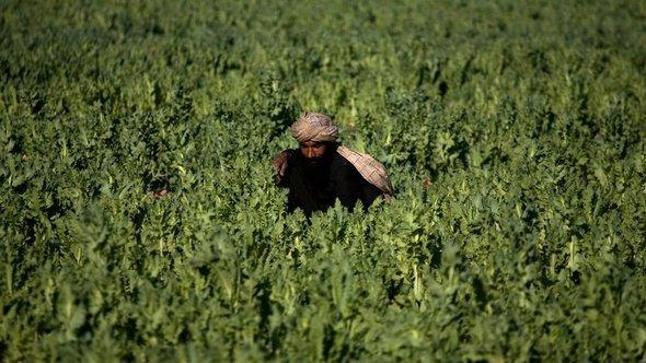 In this photo taken on Friday, March 19, 2010, a farmer works in a poppy field in Marjah, Afghanistan (photo: AP)