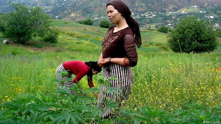 Harvesting hemp in Morocco′s northern Rif region (photo: DW)