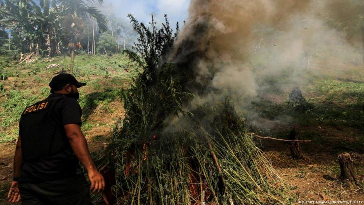 Police raid: burning cannabis plants in North Aceh (photo: picture-alliance)