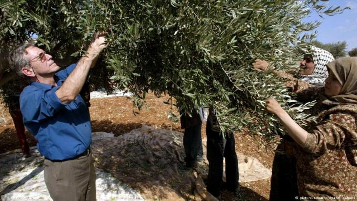 Amos Oz harvesting olives on the West Bank (photo: picture-alliance/dpa)