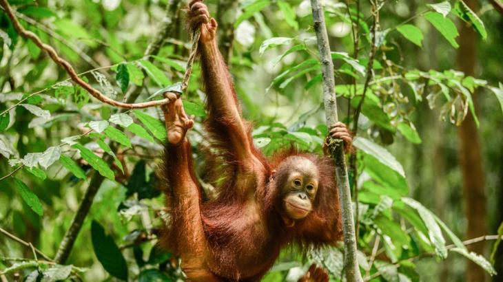 A juvenile orangutan swinging through the Borneo rainforest (photo: ARD/Panorama)