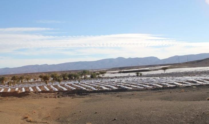 Watermelons under cultivation in Zagora (photo: Ilham Al-Talbi)