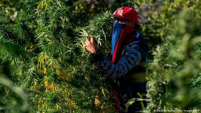 A masked farmer holds cannabis in a field near in Morocco's northern Rif region (photo: Fadel Senna/Getty Images/AFP)