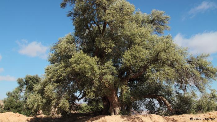 Olive trees have been cultivated in North Africa for thousands of years. The oil produced from its pressed fruits is still the main ingredient for Libyan dishes. Traditionally, olive oil was also used for its healing and restorative properties and to keep oil lamps alight.
