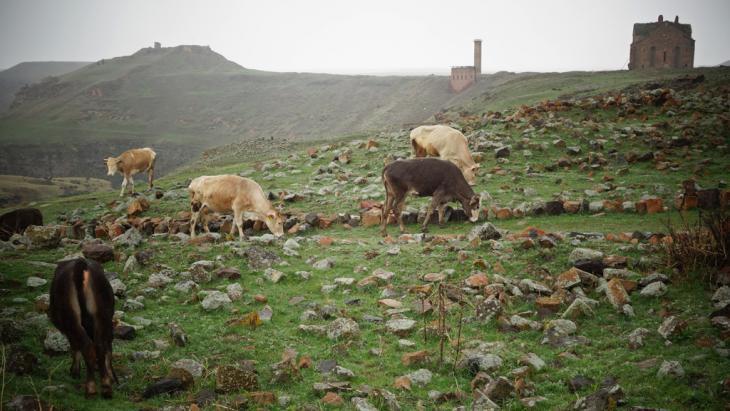 Cows grazing, Ani (photo: DW/F. Warwick)