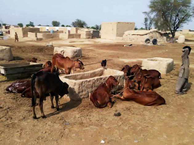 Cows in a community in the Cholistan Desert (photo: Usman Mahar)
