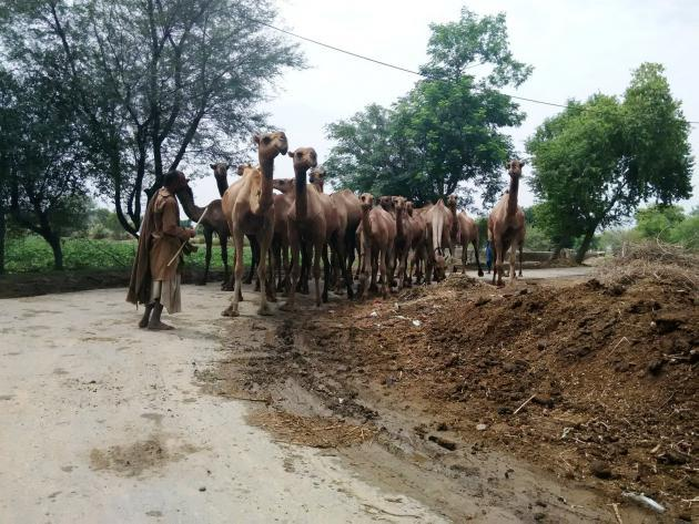 A herd of camels and its herder, Punjab, Pakistan (photo: Usman Mahar)