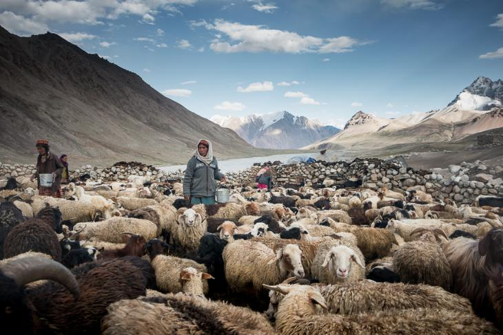 Wakhi shepherdesses milking their cattle in a pen (photo: Camille Del Bos)