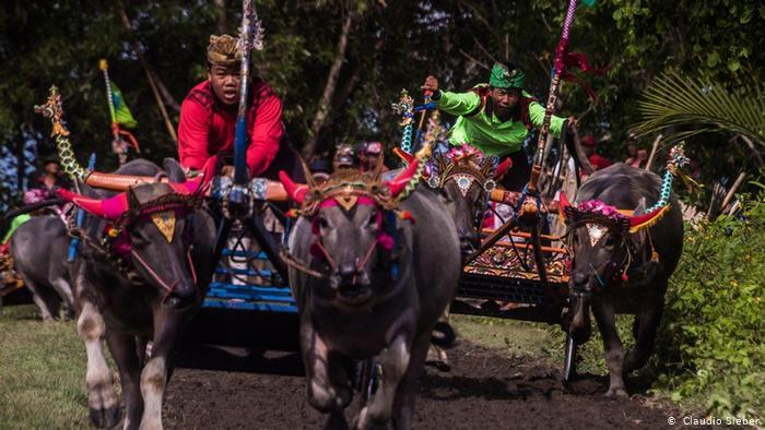Makepung Jembran Cup, traditional bull-racing on Bali (photo: Claudio Sieber)