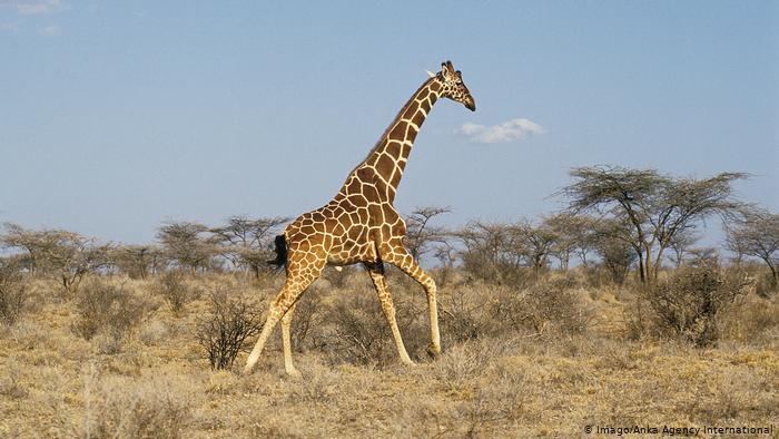 Giraffe running through the savannah (photo: Imago/Anka Agency International)