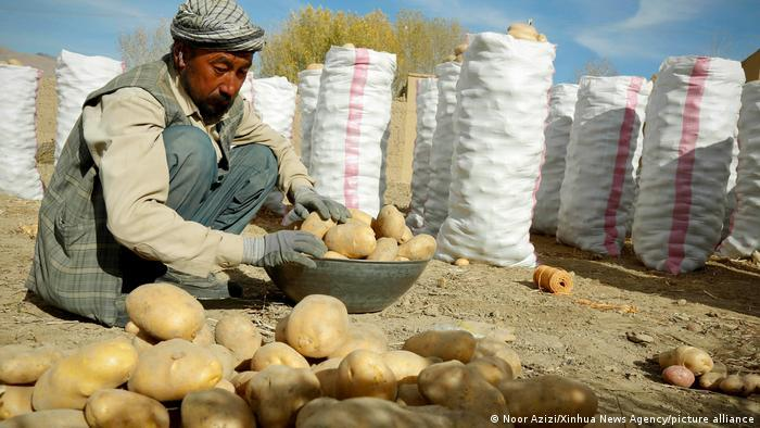 A Hazara man gathers up potatoes from the ground