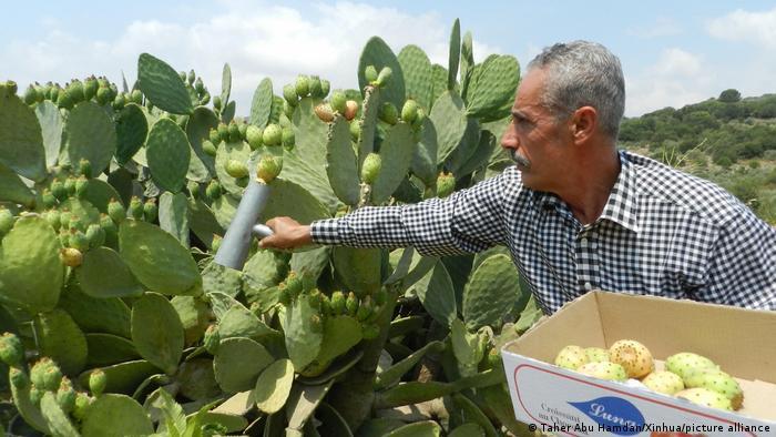 A farmer harvests prickly pears in Lebanon.