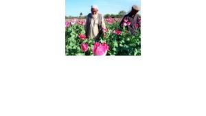 Almost 80% of the world's opium now comes from Afghanistan: Poppy field in the Nangharhar province, photo: AP