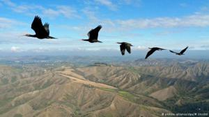 Northern bald ibis in migration (photo: picture-alliance/dpa/M. Unsold)