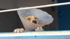 A newly sterilised beldi dog on the hospital ward (photo: Regina Keil-Sagawe)