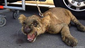 "This rescued lion was meant to appear on a TV show. Generally, however, Lebanese zoos sell their animals to private individuals. Now, however, this could all be coming to an end. Lebanon′s Minister of Agriculture Akram Chehayeb recently announced that ""all animals held by illegal traders and outlets are to be seized. These animals belong neither in a cage nor private house as symbols of power and prestige"""