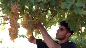 1.	Grape picking on the Al-Natsheh plantation begins at first light. During the harvesting season, some 15 helpers gather the grapes and pack them into crates