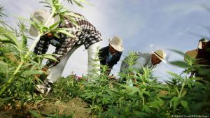 Cannabis cultivation in the Larache region of Morocco (photo: DW)