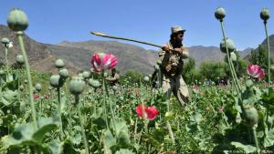 Token gesture: an Afghan security force member destroys an illegal poppy crop in the Noor Gal district of eastern Kunar province on 29 April 2014 (photo: Getty Images/AFP/N. Shirzada)