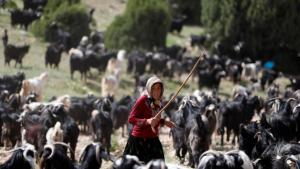 When summer arrives in the south of Turkey, the goats gradually become restless and the Gobut family knows that it is time to pack their tents and set off on a long journey north with their herd of about one thousand animals