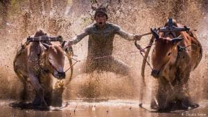 Pacu Jawi, traditional bull-racing on Sumatra (photo: Claudio Sieber)