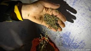 Hoping to make a legal profit: a Moroccan farmer packages cannabis seeds (photo: Fadel Senna/Getty Images/AFP)