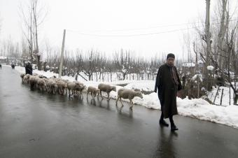 Flocks return to the lowland plains at the onset of winter: in recent years, very hard winters in the upper reaches of the Kashmir valley have led to thousands of pashmina goats perishing